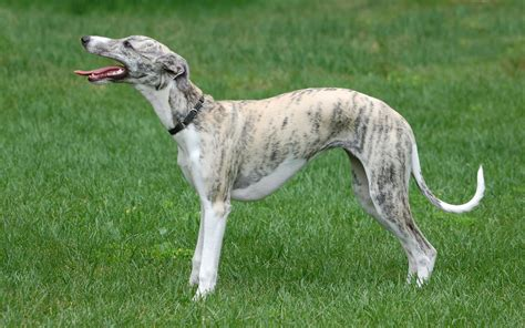 Whippet Wallpapers HD Download