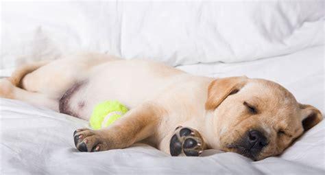 perros que duermen 8491046259 191 cu 225 nto duermen los perros hogarmania