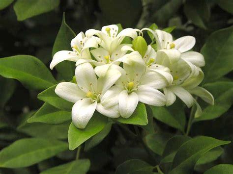 imagenes de flores jasmin jasmin conhe 231 a mais sobre eles plantasonya o seu