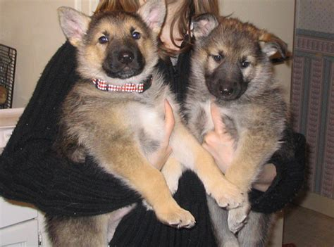 wolf german shepherd puppies german shepherd wolf hybrid puppies