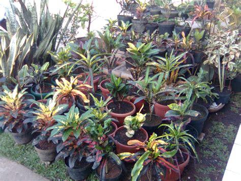 Pohon Puring Tanaman Hias Puring Cakwe puring tanaman hias murah outdoor