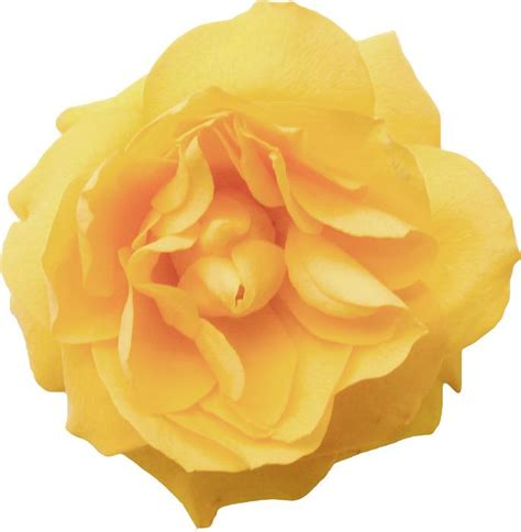 themes yellow rose free image of isolated fresh yellow rose