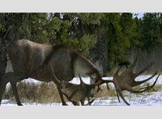 Megaloceros   Walking With... Wiki   FANDOM powered by Wikia Irish Elk