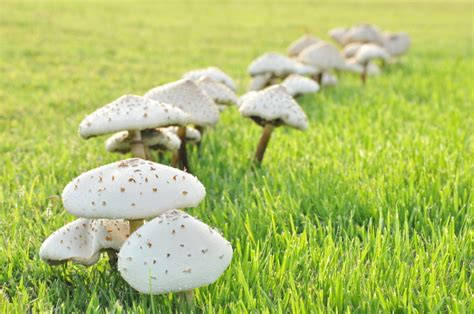 Pilze Im Rasen Verhindern by Unkraut Auf Dem Rasen Unkraut Auf Dem Rasen Garten