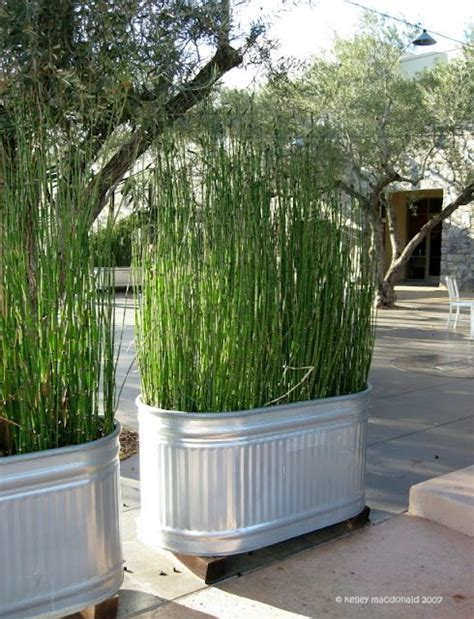 no privacy plant tall grass in galvanized tubs easy to grow fast growing galvanized