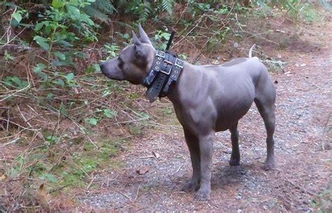 thai ridgeback puppies for sale thai ridgeback puppies 187 thai ridgeback x dogs bluestone kennels
