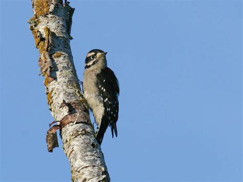 in the backyard downy woodpecker pacific nw birder