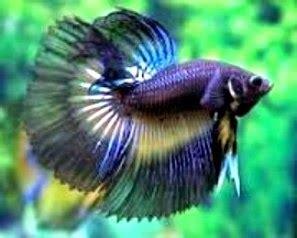 Pakan Jadi Ikan Cupang peluang usaha budidaya ikan cupang usaha budidaya dan