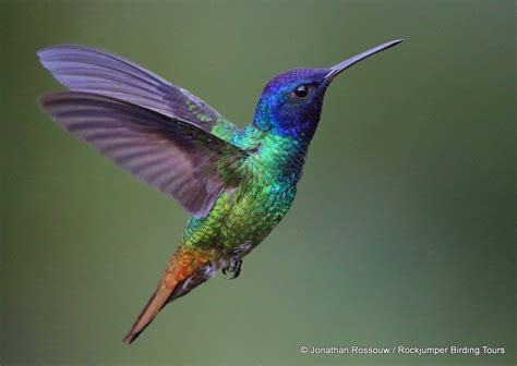 image gallery humming bird