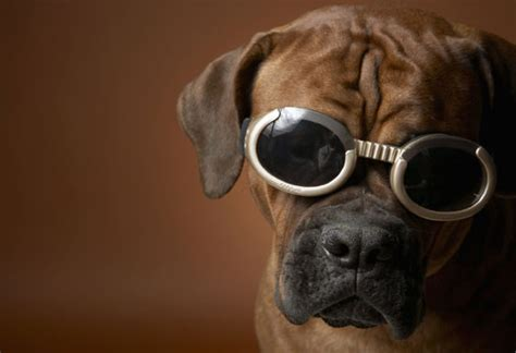 doggles for pugs doggles popsugar pets