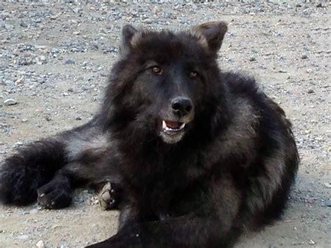 wolf puppies sun valley wolf kennels