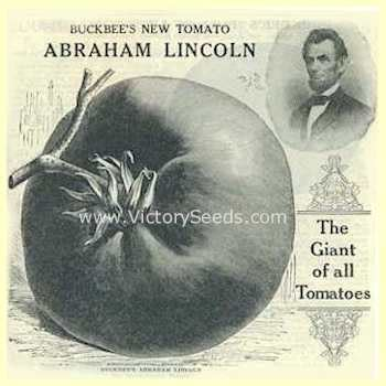abraham lincoln tomato heirloom open pollinated