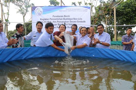 Bibit Lele Banyuwangi kkp kembangkan teknologi budidaya ikan lele ramah