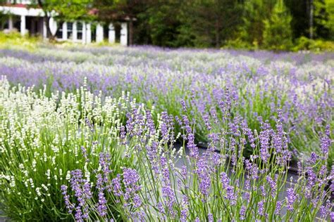 most fragrant lavender plants learning about culinary lavender fragrant isle lavender