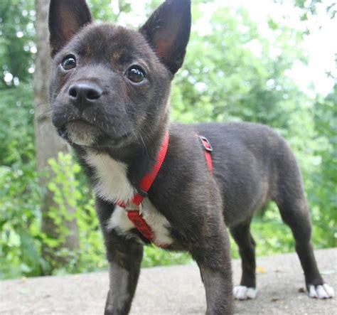 westie pomeranian mix pomeranian and boston terrier mix boston terrier mixed terrier mix and