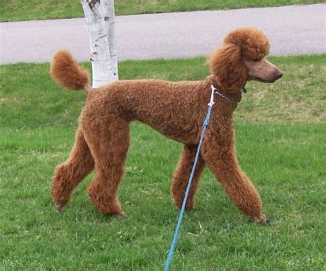 standard poodles cuts 1000 images about oy with the poodles already on