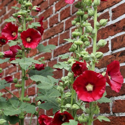 Vivaces Fleuries Tout L été by Tr 233 Miere Fonce En Lot De 3 Godets De 7