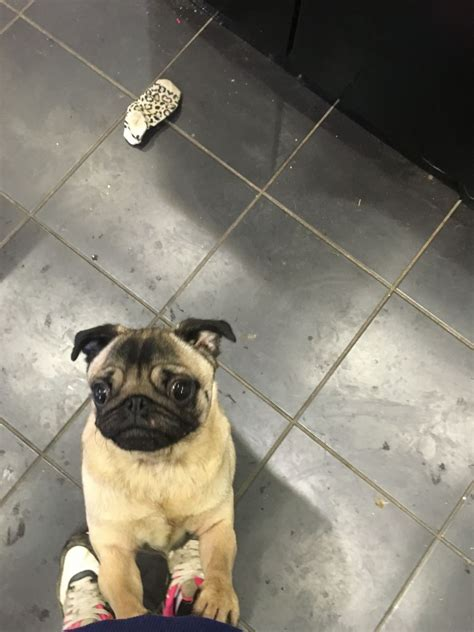 pug puppies for sale plymouth pugs 4 sale plymouth pets4homes