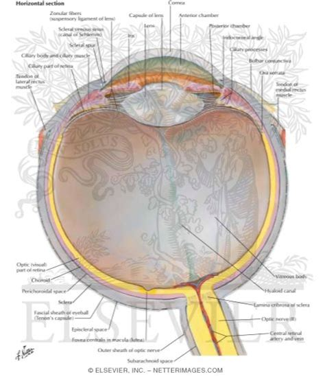 sectional anatomy of the eye anatomy of the eyeball