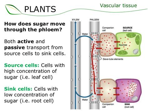 Sink Cells transport in the phloem of plants ms a world of biology
