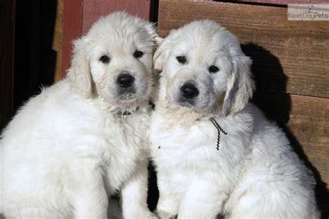 golden retriever puppies minneapolis golden retriever puppy for sale near minneapolis st paul minnesota a3e0fffb f211
