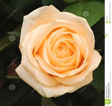 Cream Rose With Leaves Stock Photo   Image: 25510130