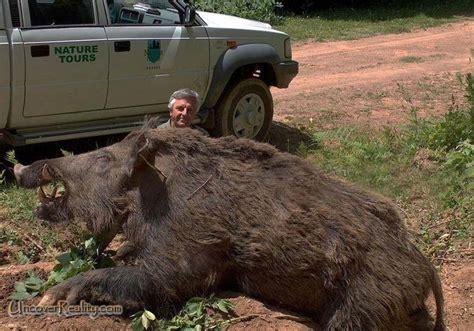 babi terbesar di dunia isu dan berita hangat babi hutan terbesar di dunia serang