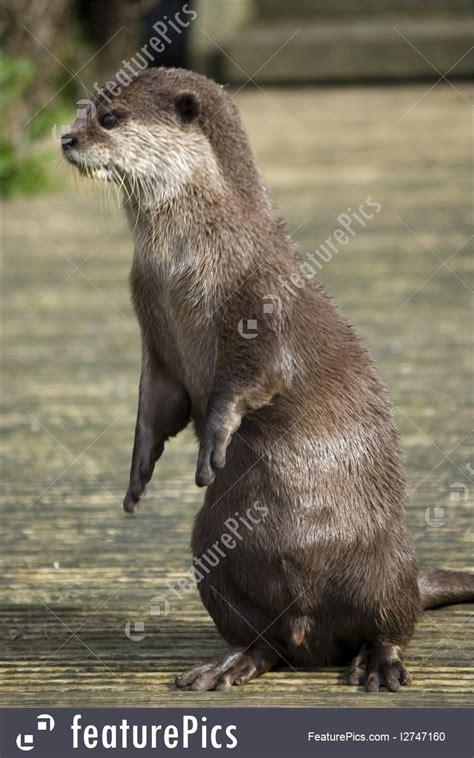 otter standing image
