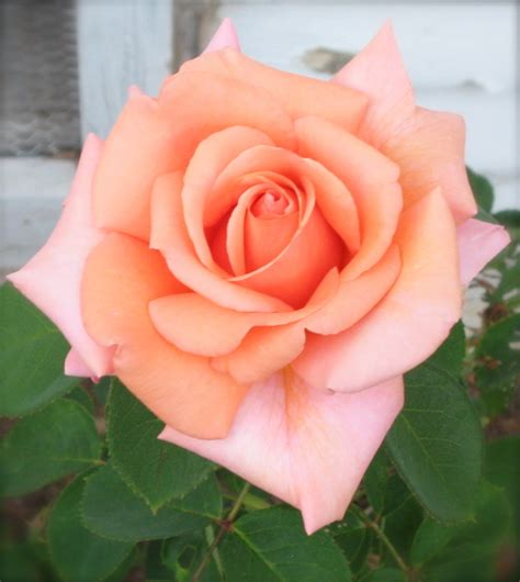 Apps For Decorating Your Home From The Garden A Perfect Peach Rose For Creative