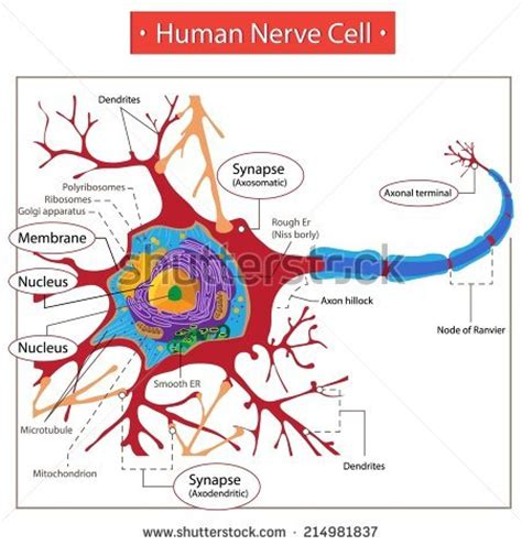 labelled diagram of nerve cell human diagram all sides free engine