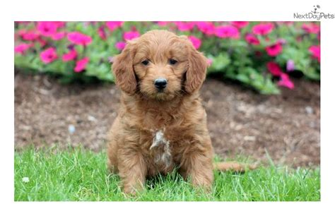 goldendoodle puppies near me goldendoodle puppy for sale near lancaster pennsylvania 3243a6e5 f621