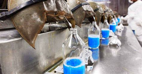 what color is horseshoe crab blood 1 the most expensive in the world 35 598 000