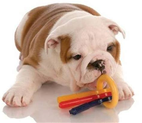 what age can puppies rawhide petcorridor myonlinebiz4u2 nylabone dura chew wishbone chew original flavor