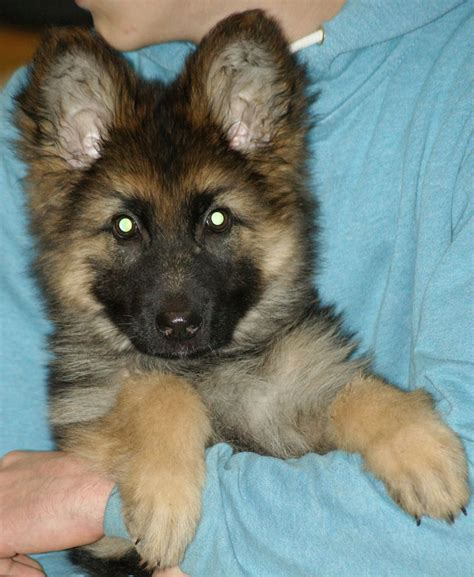 haired german shepherd puppies for sale in pa haired german shepherds pu hip scored pa carlisle cumbria pets4homes