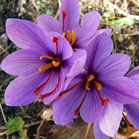 buy crocus sativus kesar saffron bulbs   nursery   flower bulbs  lowest