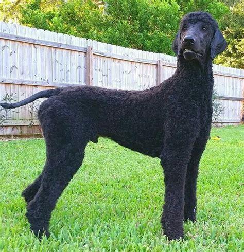 standard poodles cuts 52 best manly standard poodle cuts images on pinterest
