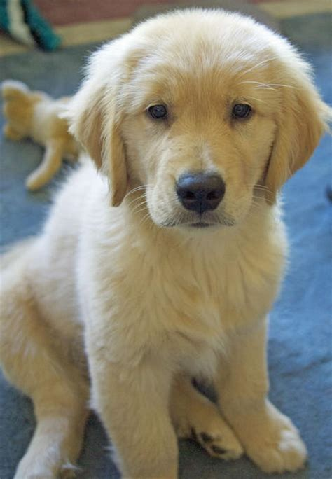 jake the golden retriever jake the golden retriever puppies daily puppy