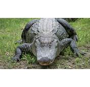 After Fatal Alligator Attack Theme Parks Review Policies