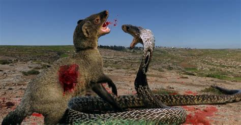 mongoose vs cobra snake cobra vs mongoose real fight to death armed forces weekly