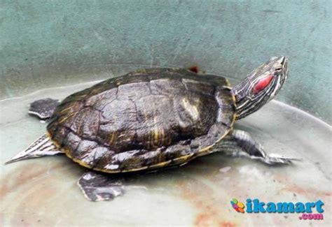 Lu Jamur Ukuran Besar jual kura kura brazil yahud kaskus jual kura kura brazil