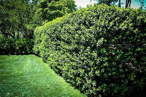 jenis tanaman hias cantik  pagar rumah arsitektur
