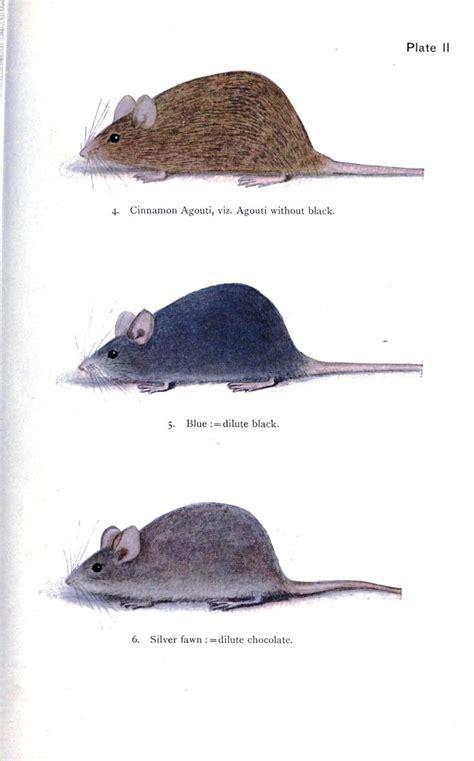 mouse colors animal genetics mouse coat color 2 fanciest of