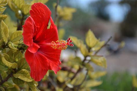 mengenal   bunga rosella jasa tukang taman