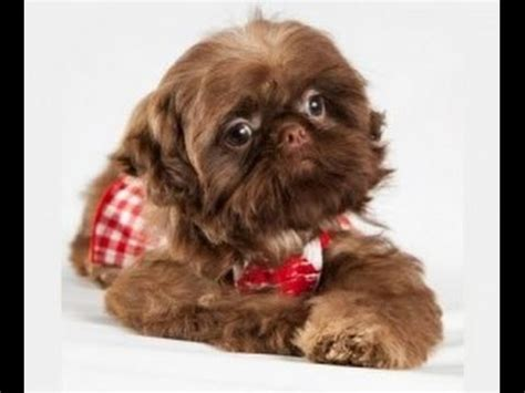 teacup shih tzu adults teacup shih tzu adults www pixshark images galleries with a bite
