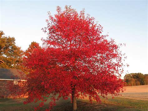 black gum tree   told  arent