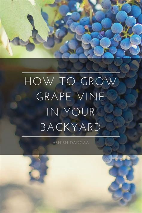 how to grow grapes in your backyard how to grow grape vine in your backyard dengarden