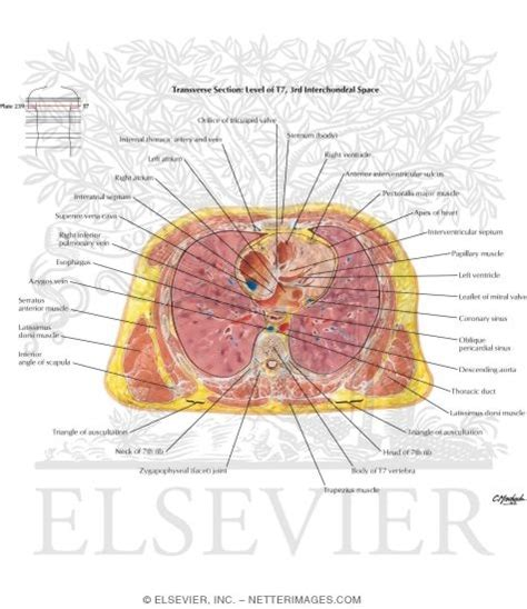 thorax cross section illustrations in anatomy atlas 5e