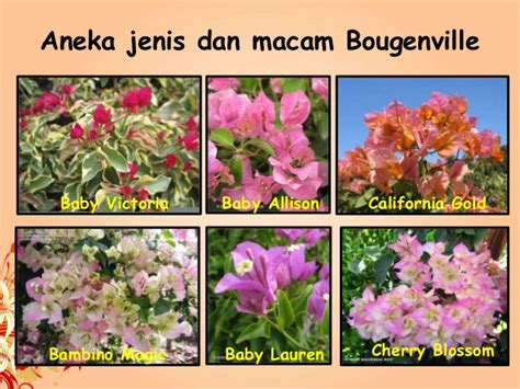Tanaman Bougenville Kombinasi Ungu Putih Bunga Bougenville