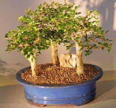 Bakalan Bonsai Ulmus Grouping elm bonsai tree for sale aged 3 tree forest ulmus parvifolia