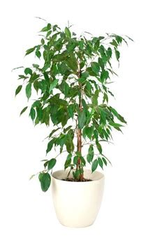 Ficus Im Schlafzimmer by Ficus Birkenfeige Pflege Und Standort Wohnen De Ratgeber